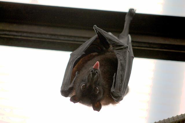 כיצד מוצאים העטלפים את דרכם בחושך ?