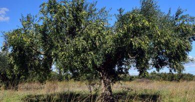 עץ הזית